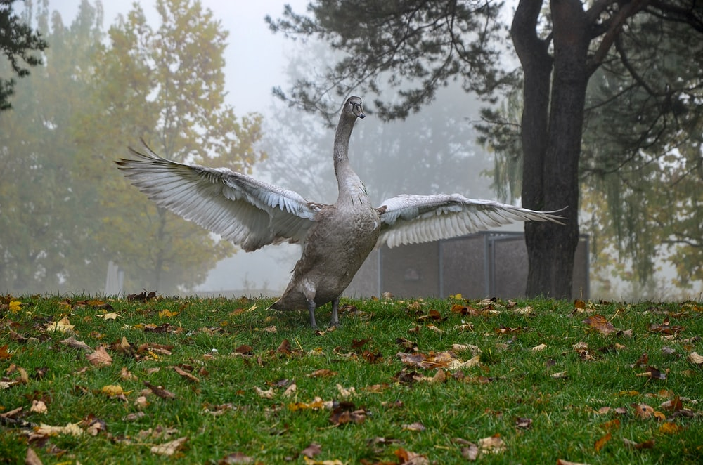 gray swan on green grass