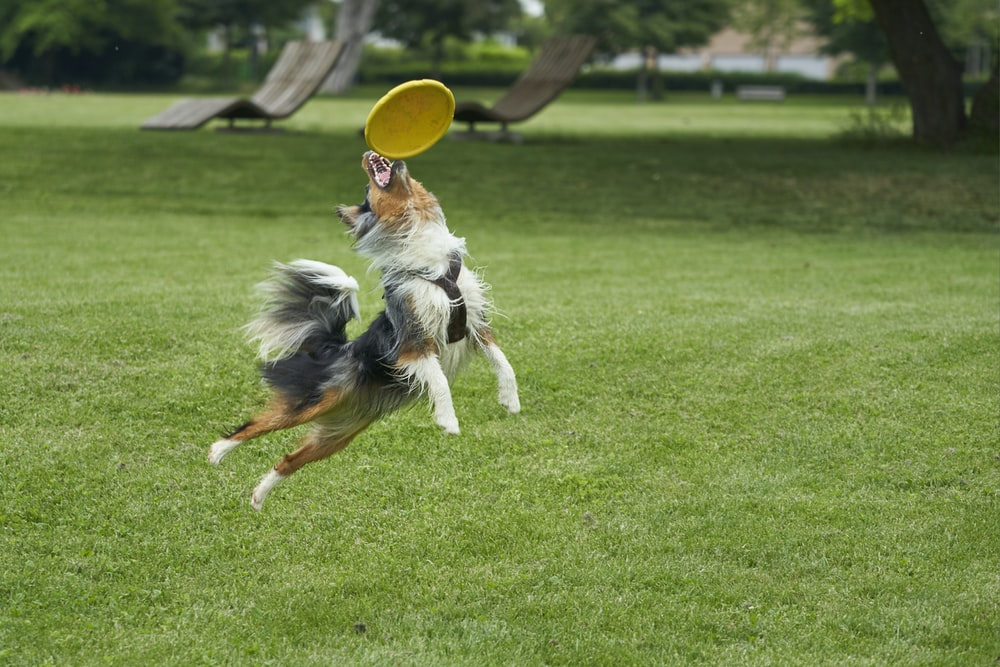 black and brown dog catching yellow flying disc