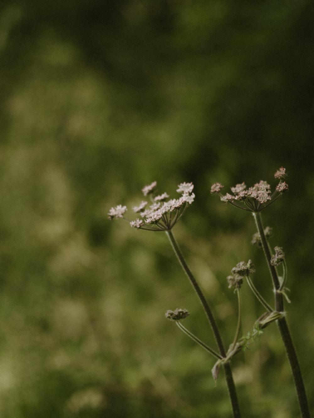 white wild flowers blooming