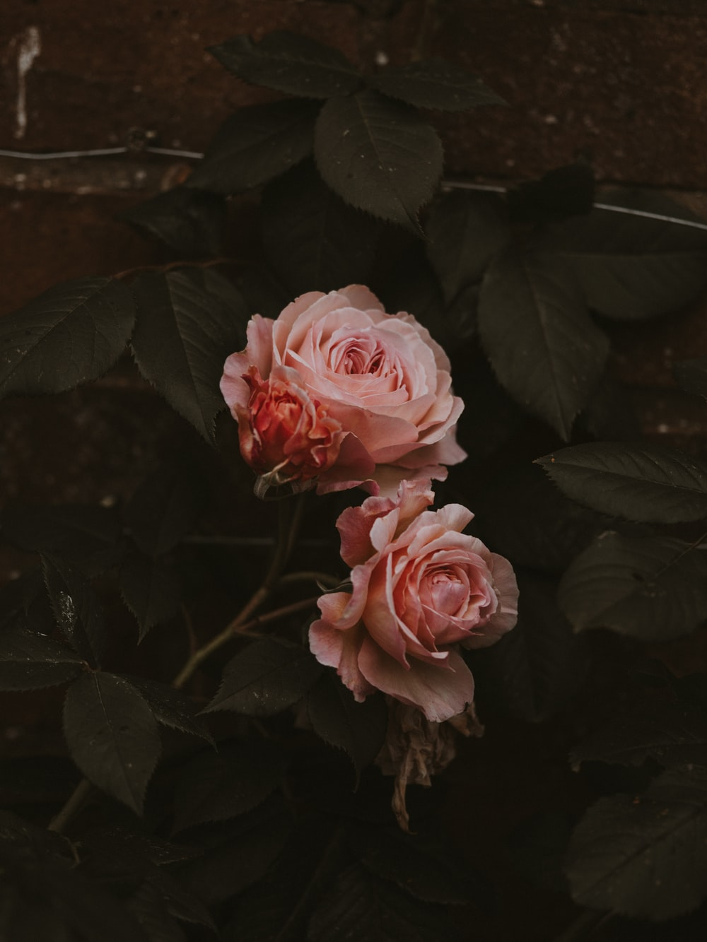 two pink petaled flowers