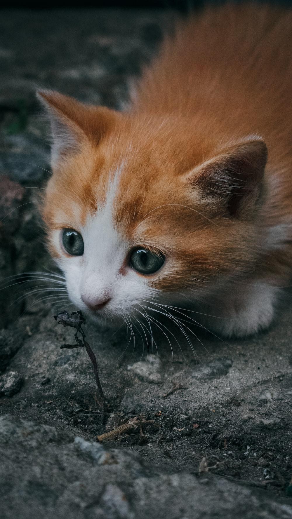close-up photography of orange tabby kitten