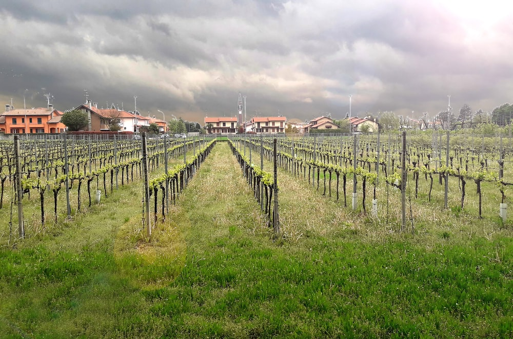 green grape fruits field under white and gray skies