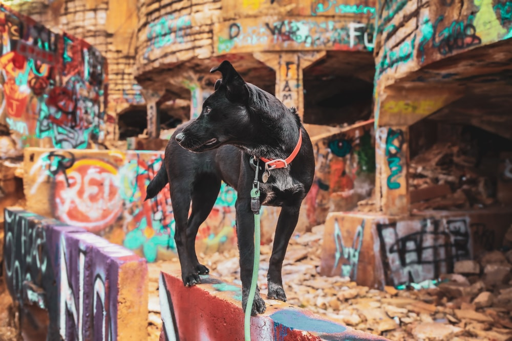 adult white and black Belgian malinoise standing on wall