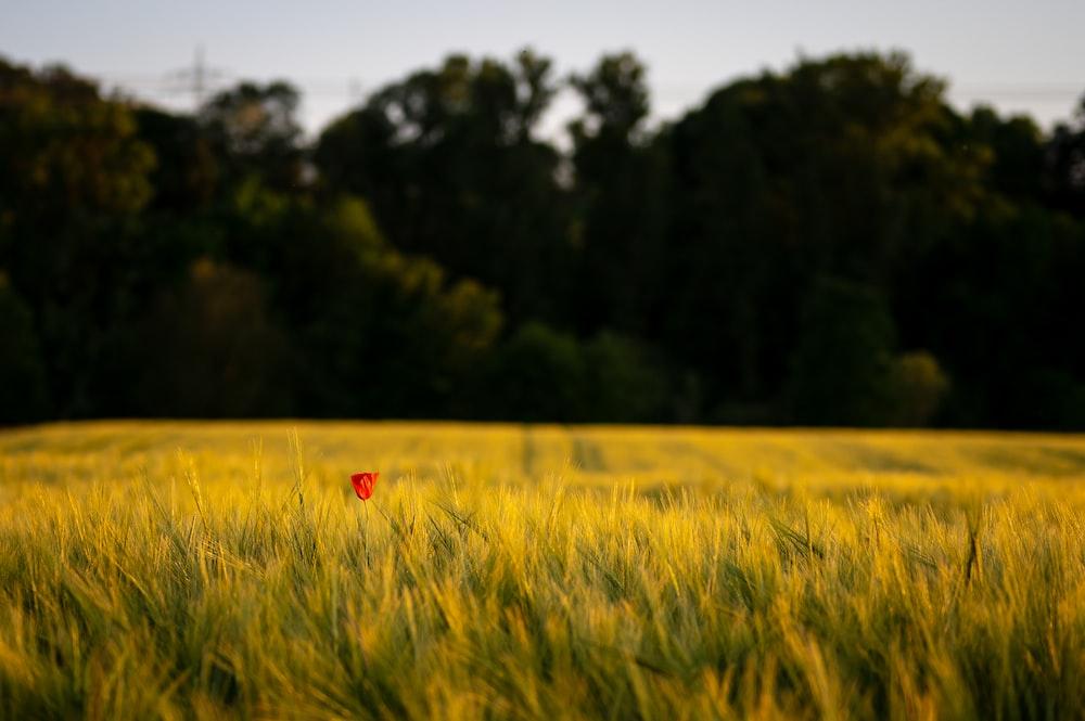 red poppy flower in green field