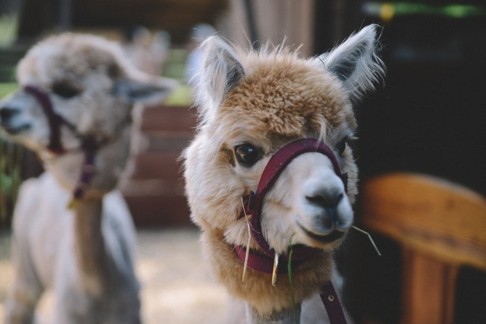 selective focus photography of llama during daytime