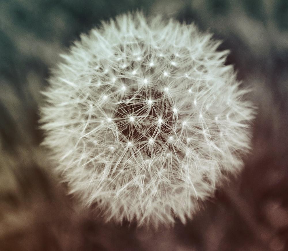 selective focus photo of dandelion flower