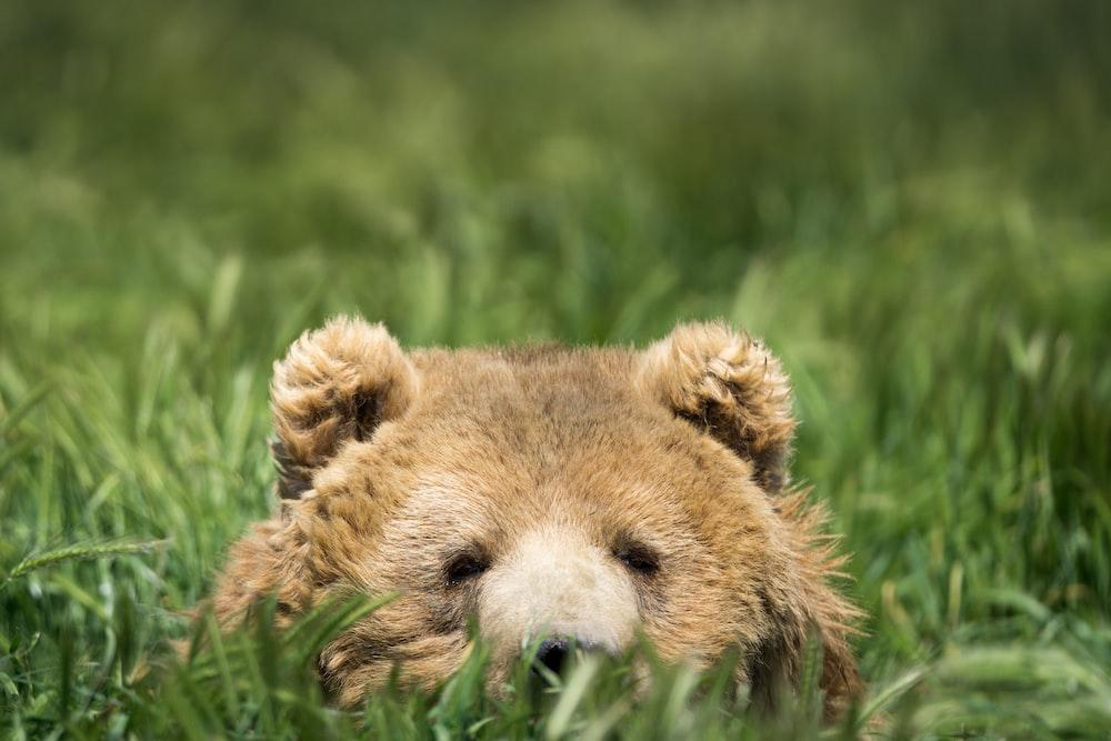 brown bear hiding on green grass