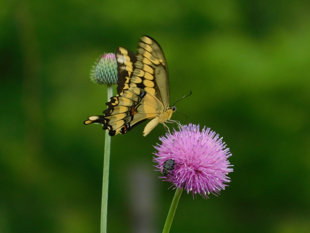 brown butterfly perched on purple flower