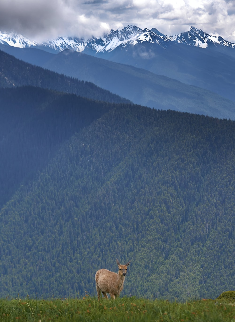 brown deer in green field viewing mountain under blue and white skies