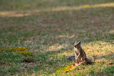 brown squirrel on green grass field during daytime gray wolf zoom background