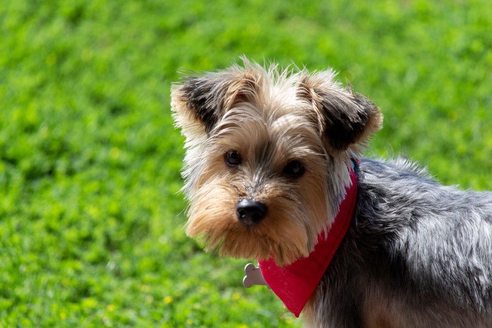 brown and grey Yorkshire Terrier with red bandanna