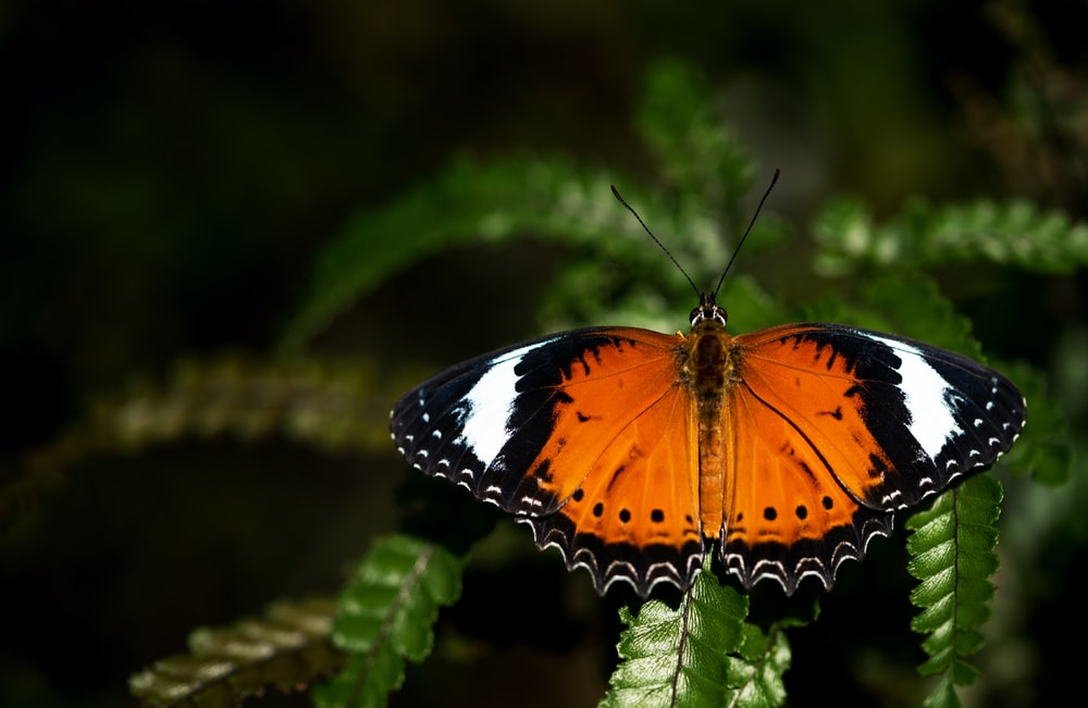 brown and black butterfly on Boston fern leaf