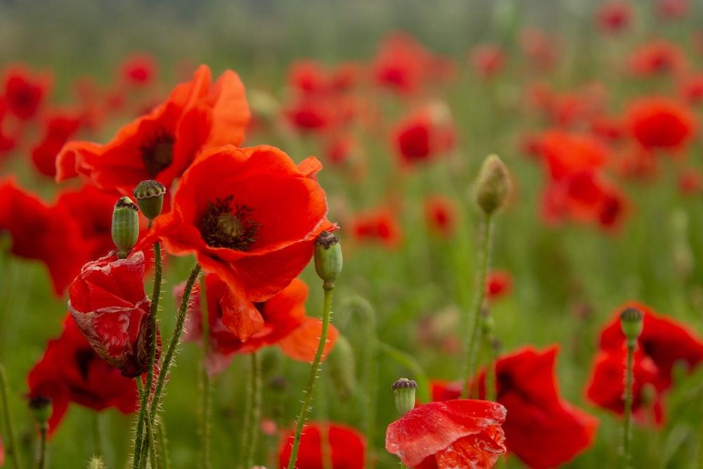 common poppy flower