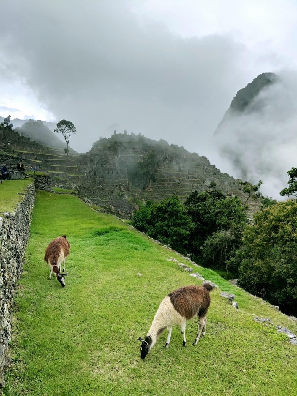 two brown llamas