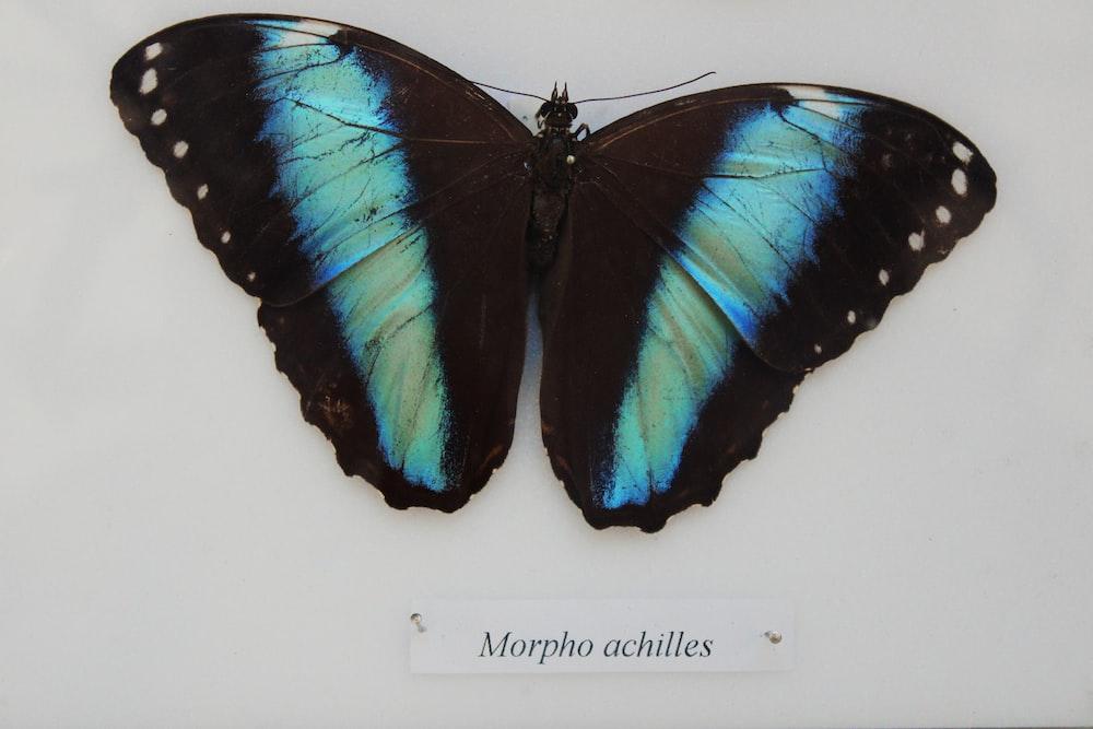 blue Morpho butterfly