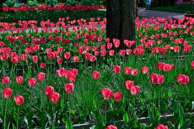 red tulip flowers illustration saint patrick zoom background