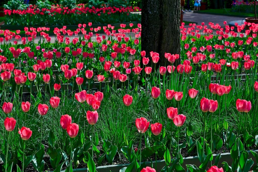 red tulip flowers illustration