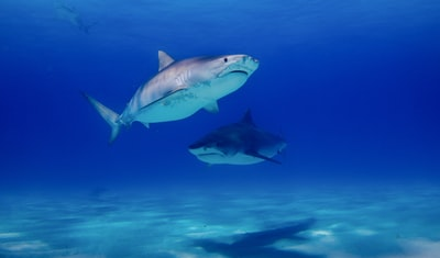two black sharks in water