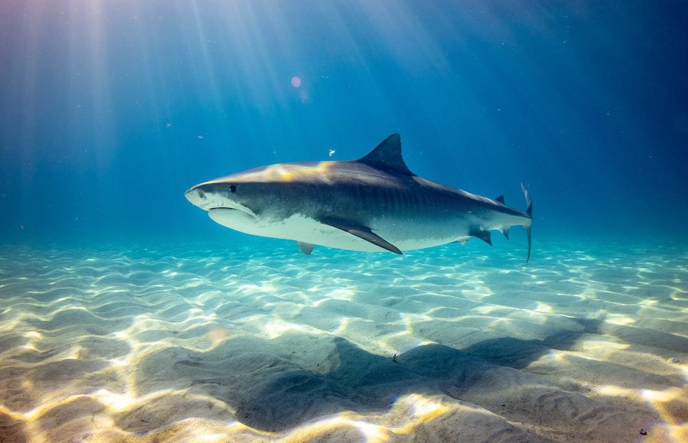 black shark underwater photo