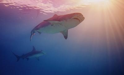 shark underwaer