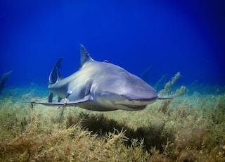 black shark photo