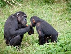Kibale National Park, Schimpansen Tracking
