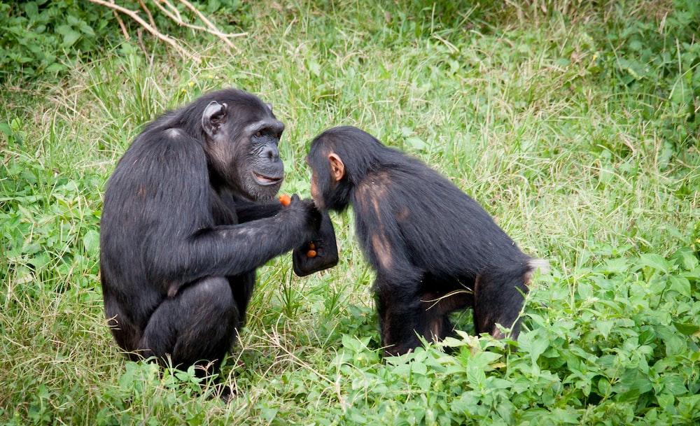 two black monkeys