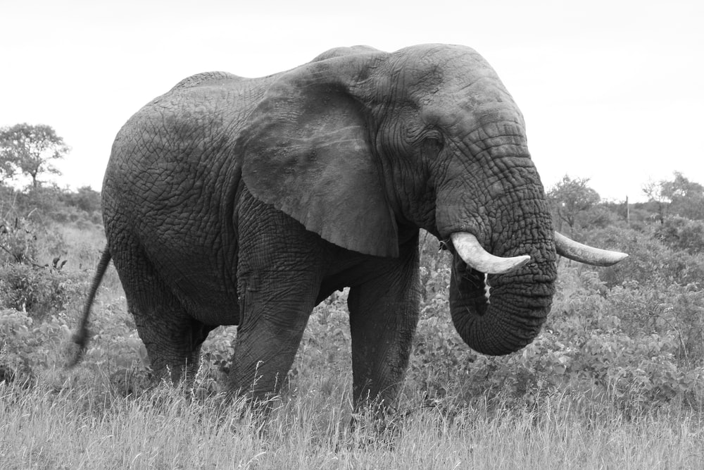 adult elephant eating on grass during day