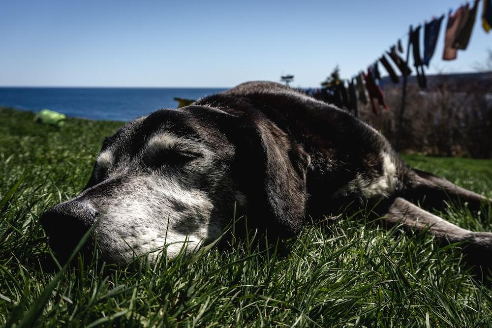 dog sleeping on grass near ocean during day