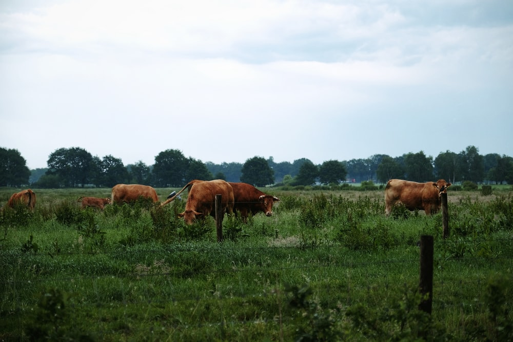 herd of cattle grazing during daytime