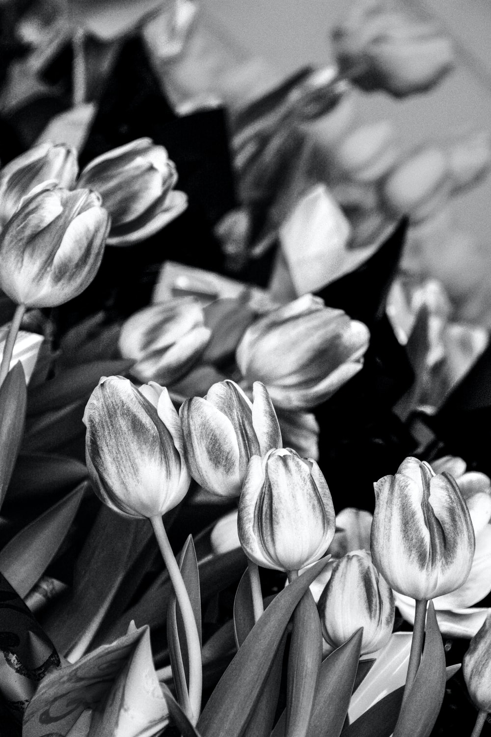 grayscale photography of tulips