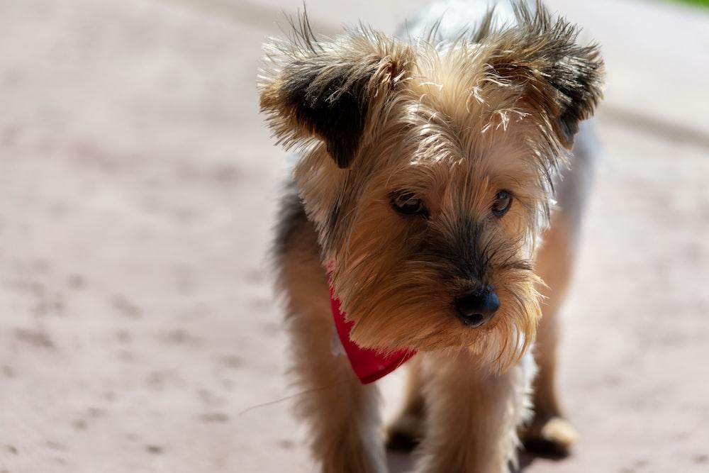 adult Yorkshire terrier