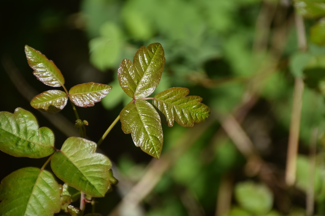Young growth on a poison oak plant in the woods of Oregon