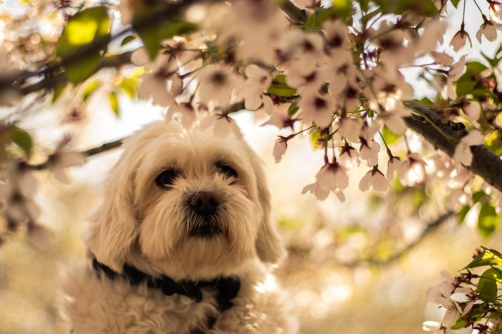 white Yorkshire Terrier dog under white flowered bush