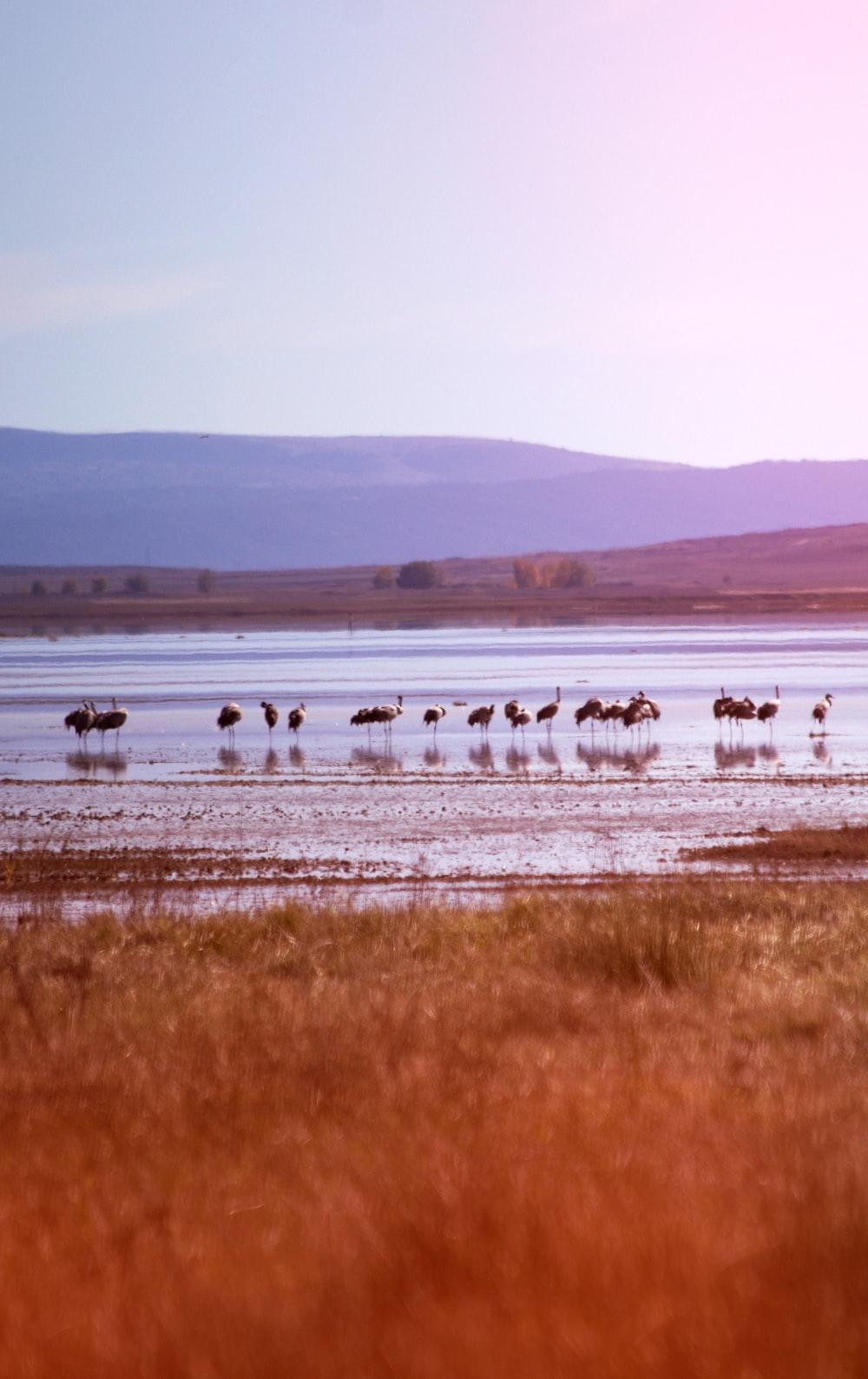 flamingo bird on body of water