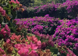 purple and pink bougainvilleas in bloom