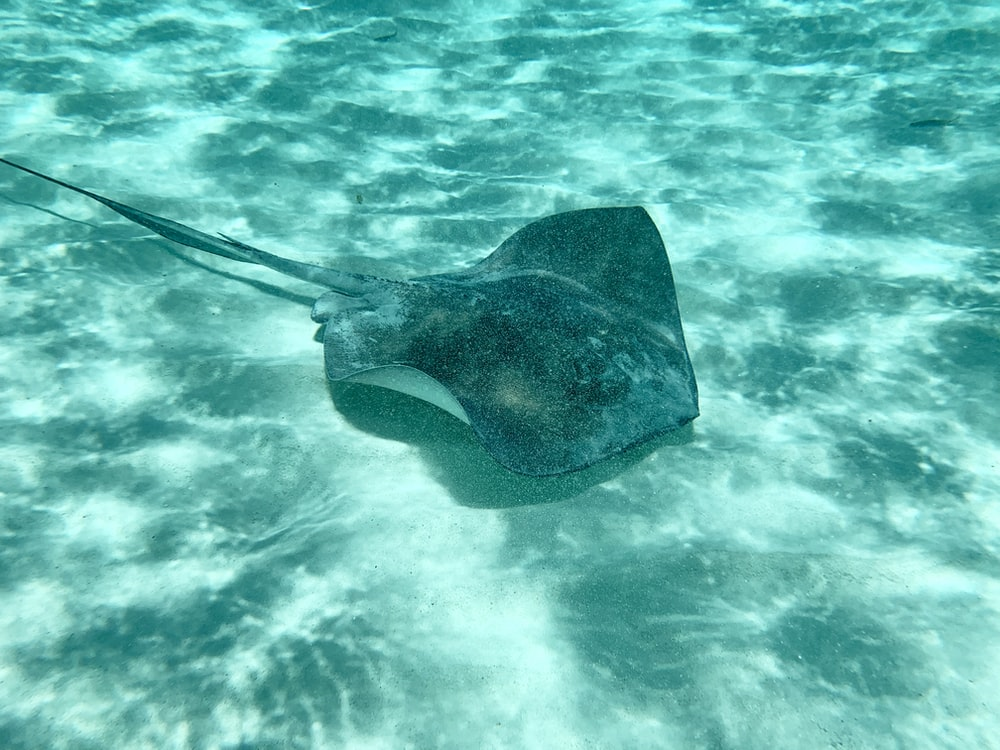 black stingray on body of water
