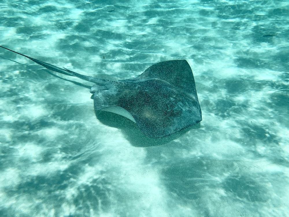 black stingray on body of water