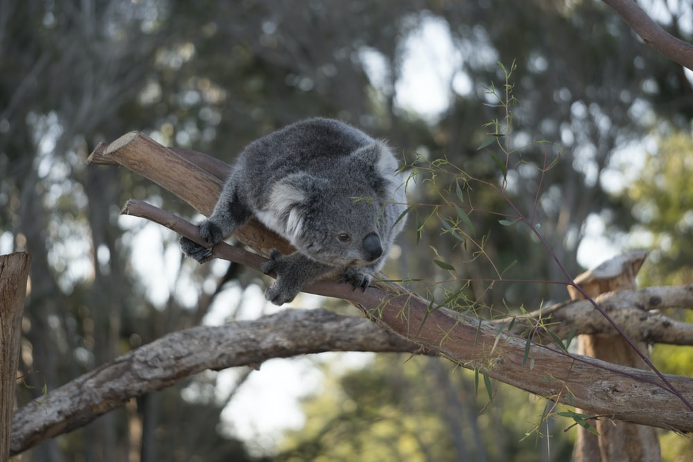 gray koala on brown tree