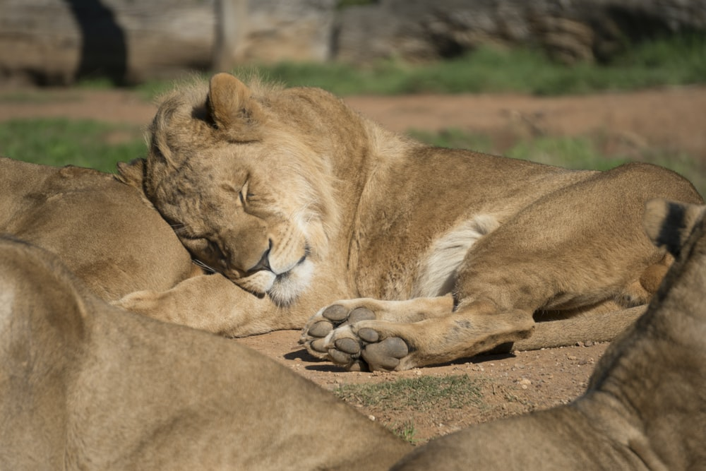 lion lies on another lion