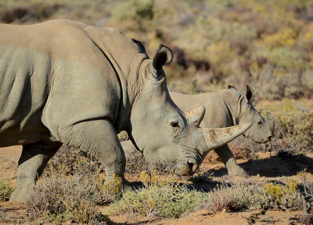 two gray rhinos on green field