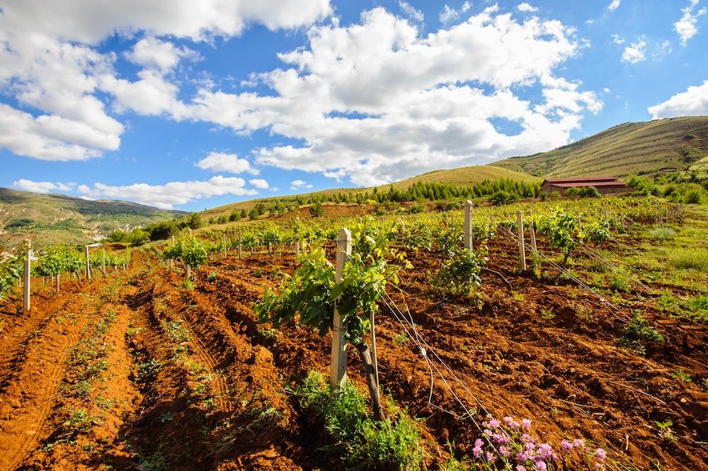 vegetable vine field during daytime
