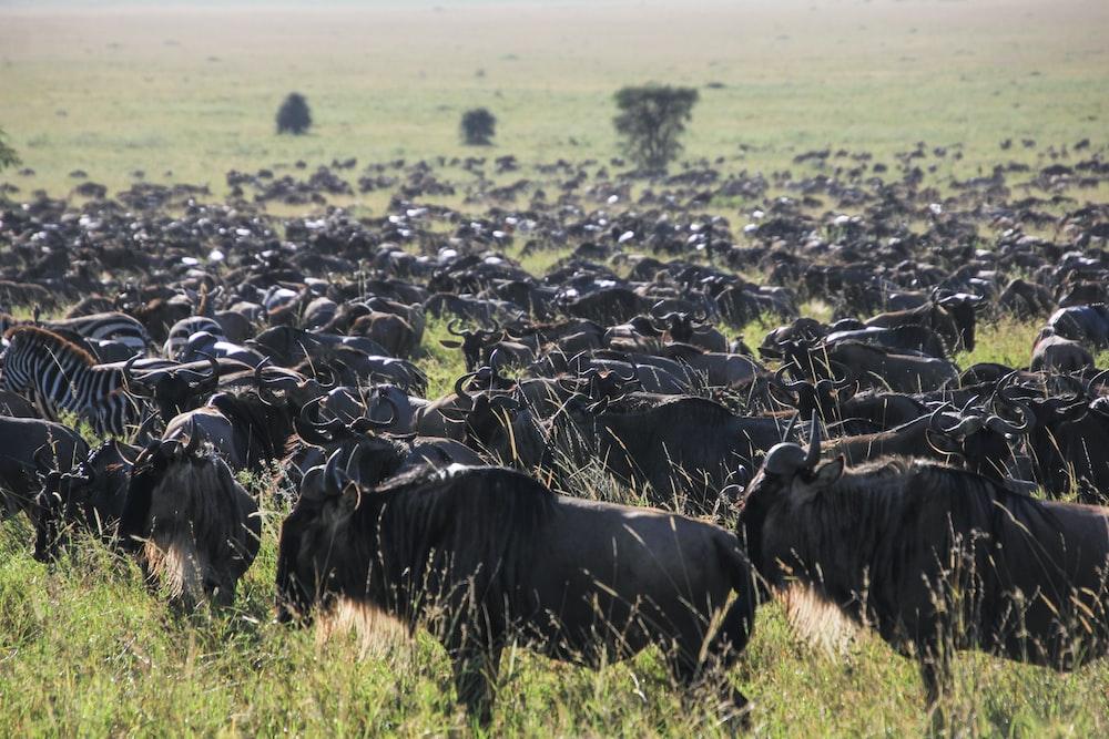 bulls and zebras grazing on grass plains
