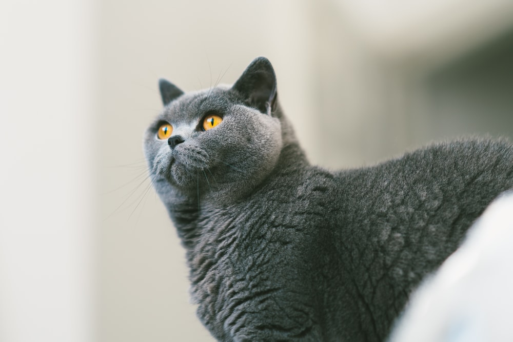 gray cat in close-up photo