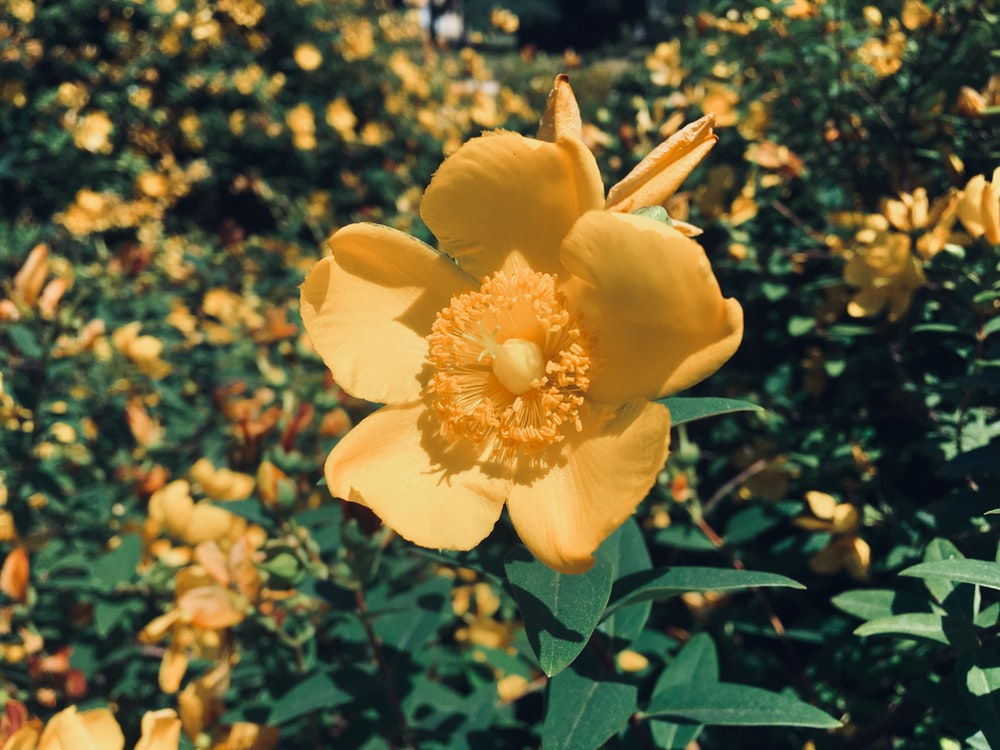 blooming yellow petaled flowers