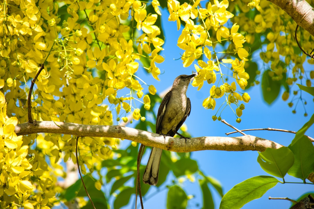 Mockingbird in a yellow tree from a recent trip to Walt Disney World.
