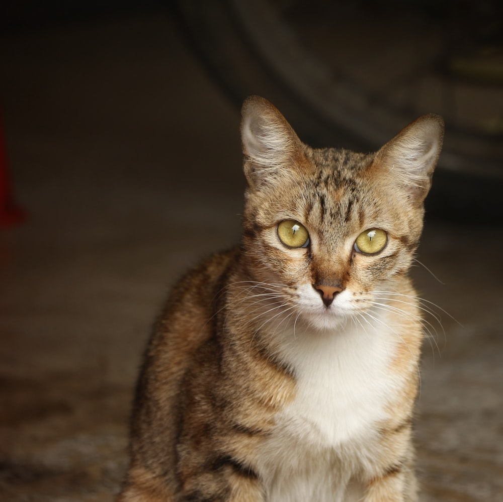 Pet, abyssinian, animal and cat | HD photo by Keytion