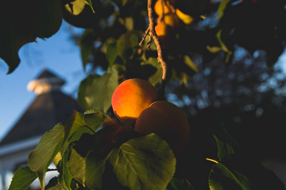 yellow fruit close-up photography