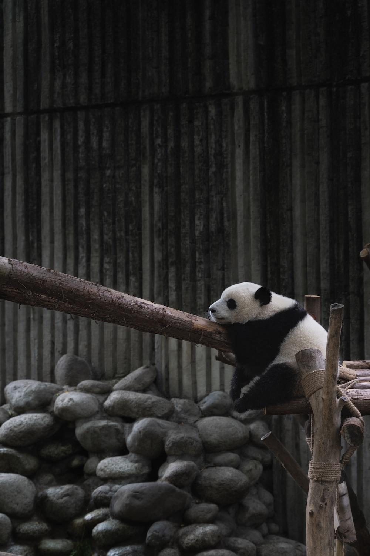 white and black Panda on wood