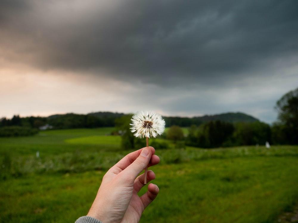 person holding dandelion